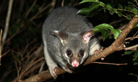 Possum Control Specialists   Pest Control Empire
