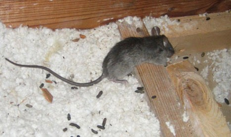 Rodent Control Melbourne  Mice In a Roof  Pest Control Empire