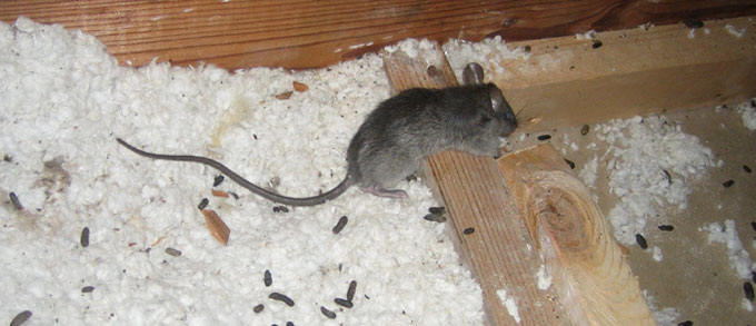 Rodent Control Melbourne| Mice In a Roof| Pest Control Empire