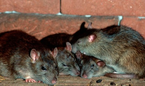 Rats in a huddle