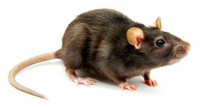 Norway rat | Rodent Control Melbourne