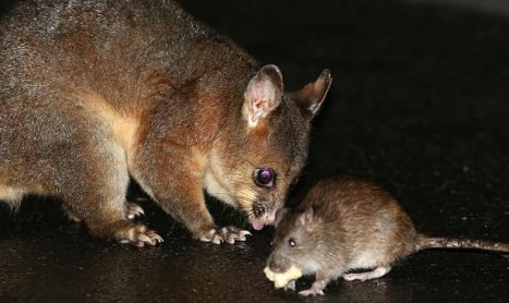 Rats Living with Possums