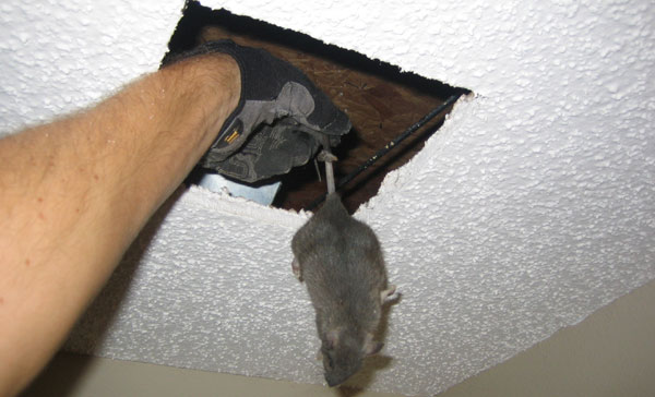 Dead Rat Removal Melbourne Pest Control Empire