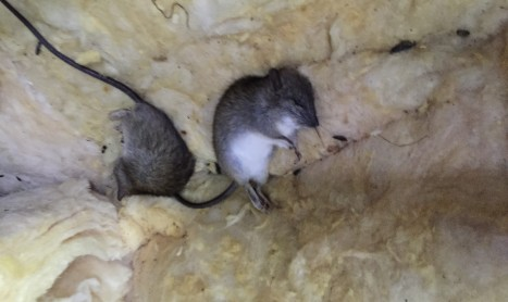 Dead Rats In Roof | Pest Control Empire