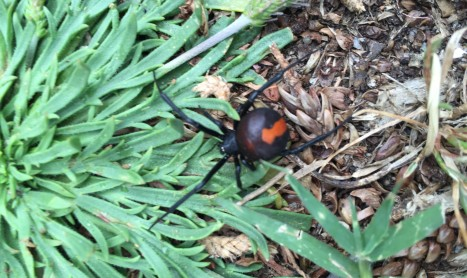 Red Back Spider Removal