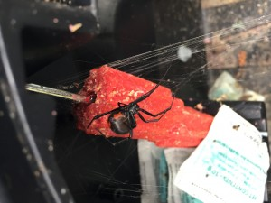 A Red Back Spider Lurking