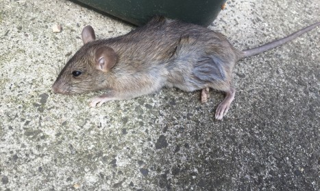 Rats and mice are vermin that spread disease and contaminate food throughout Melbourne.