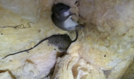 Rat Removal Williamstown