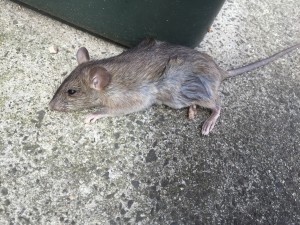 Rats in Melbourne