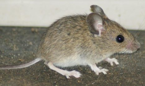 Plumpton Invaded by Mice