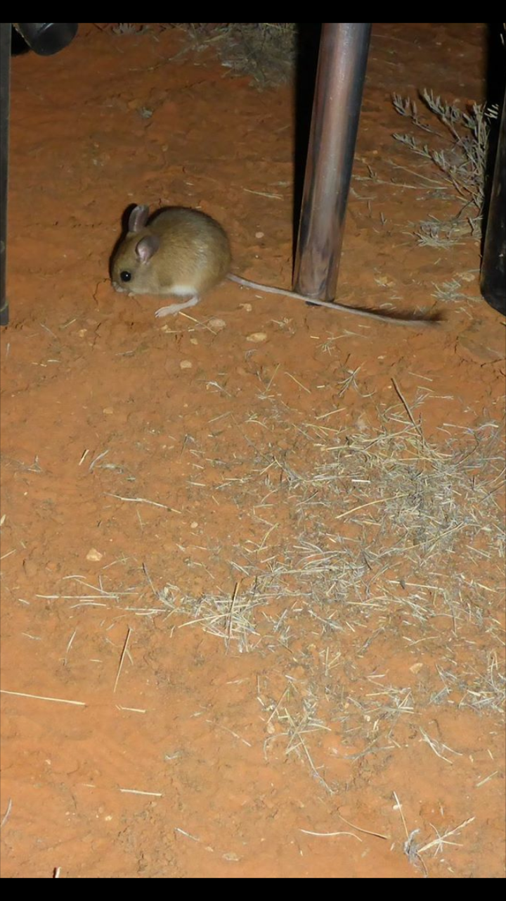 How to get rid of mice in Melbourne