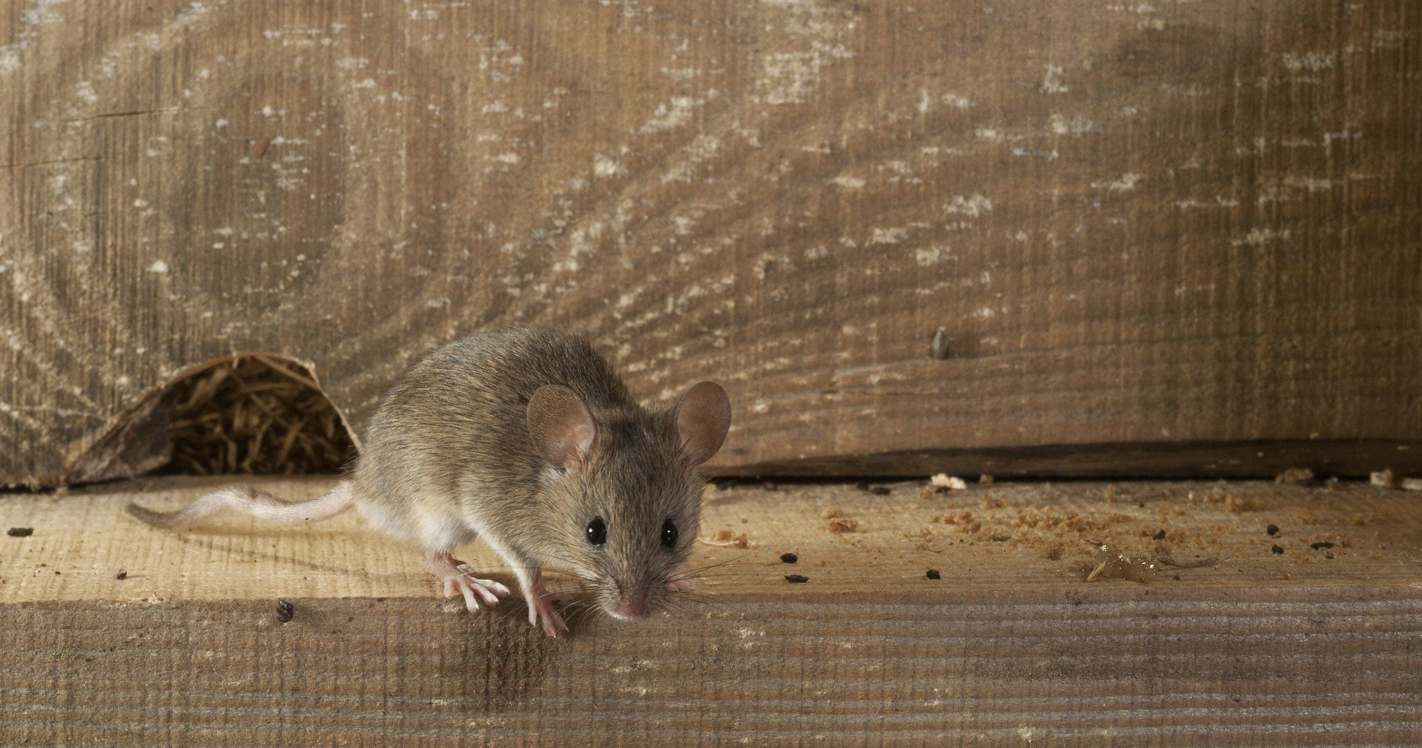 Mouse Exterminator Melbourne Pest Control Empire