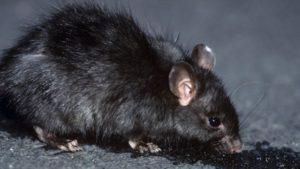 Rat & Mouse Control Melbourne