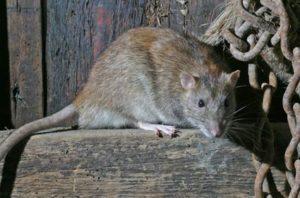 Rat Exterminator Melbourne